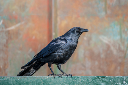 An American Crow perched on the top edge of a dumpster Banque d'images