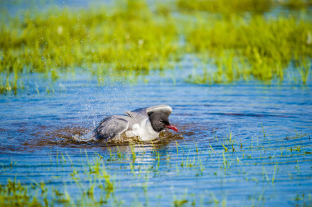 Laughing Gull bathing in a puddle at the shore