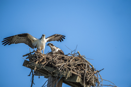 A pair of ospreys in the nest.