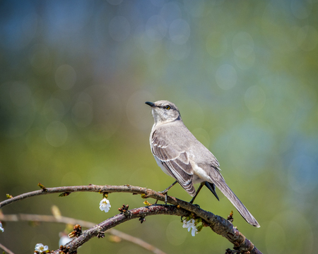 Mockingbird perched on the braanch of a flowering tree in spring. Stock Photo - 115341539