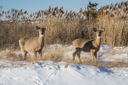 A couple of white tail deer down at the beach in the snow. Stock Photo