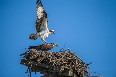 A pair of ospreys prepare the next
