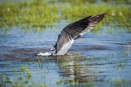 Laughing Gull preparing to fly Stock Photo - 115341550
