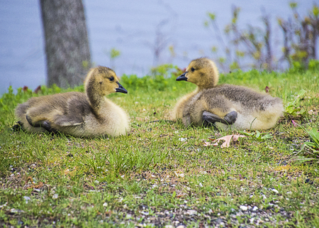 A pair of gosling resting near the lake shore. Stock Photo
