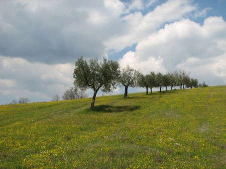 Olijfbomen in Toscane Stockfoto