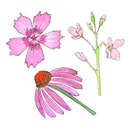 sketch of wild flowers with watercolor on a white background. Carnation Grass, Meadow core, Echinacea. hand-drawn Stock Photo