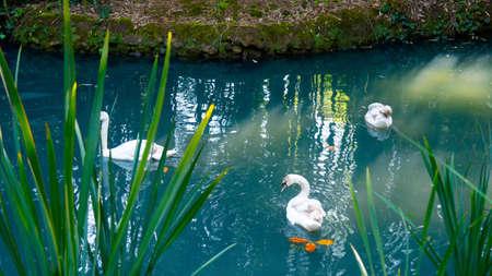 Three beautiful graceful white swans swim along the blue lake Stock Photo