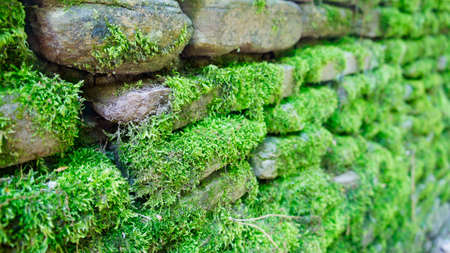 Wall of stone with green lush moss in a receding perspective