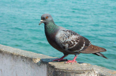 Dove, Pigeon with river Background