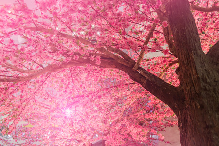 Background of blooming pink Cherry Blossom Sakura trees and sun flare 스톡 콘텐츠