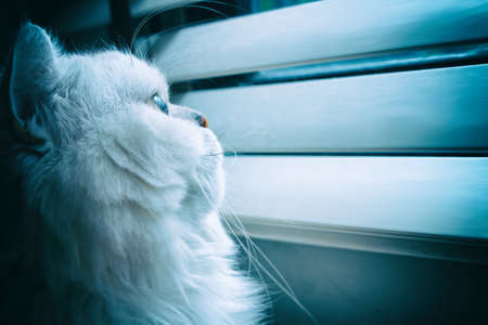 Lonely white chinchilla Persian cat looking out the window for something Imagens
