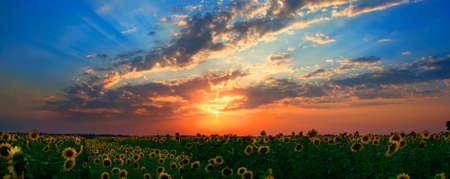 Panoram of sunflowers field with beautyful sunset Stock Photo