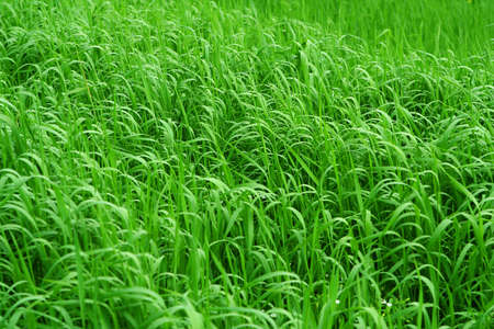 insipid: Grassy Background fith fresh green grass