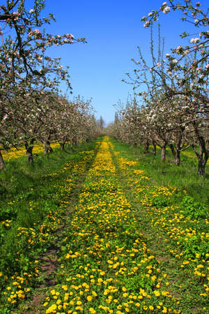 Spring Garden with apple trees, blossoms and dandelions photo