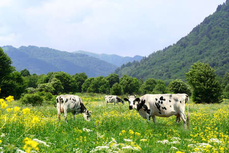 Cows on the alpen meadow