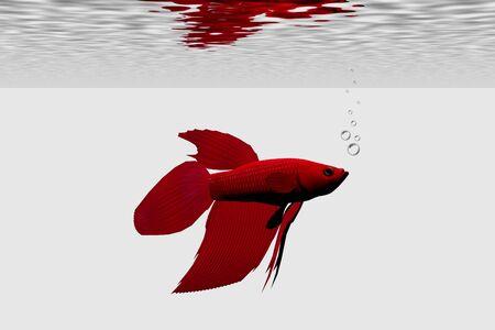 fish tank: SIAMESE FIGHTING FISH