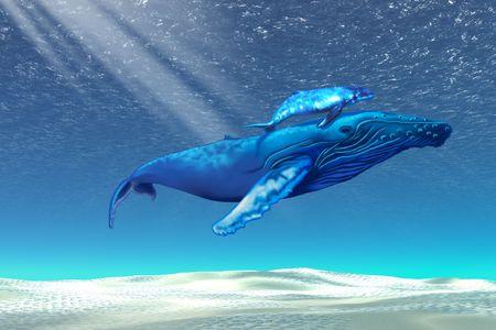 ballena azul: La madre y el beb� a trav�s de ballenas jorobadas nadar claras aguas tropicales