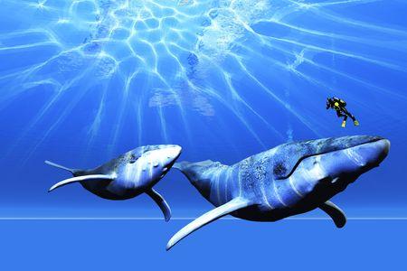 ballena azul: Un buceador encuentra a dos ballenas jorobadas en el oc�ano. Foto de archivo
