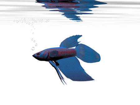 BLUE BETTA - A beautiful blue Siamese Fighting Fish builds a bubble nest to bring up its young. photo