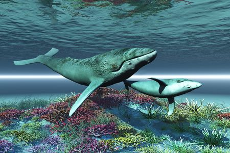 cetacean: WHALE SONG - Humpback whale mother and calf swim over a colorful coral reef.