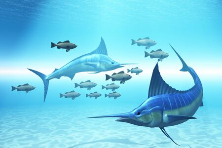 The Circle - Two blue marlins circle a school of fish in ocean waters. Stock Photo