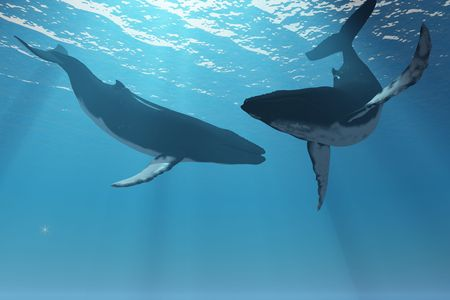 blue whale: Whale Wonders - Two Humpback whales frolic in the rays of light from the sun.