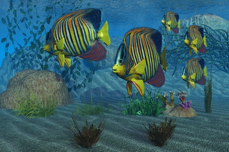 Royal Angelfish - Beautiful Royal Angelfish shimmer with their gorgeous colors near a coral reef. photo
