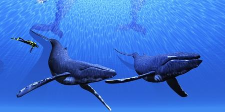 ballena azul: Ballenas 01 - Un buzo se acerca a dos ballenas jorobadas en un mar azul claro. Foto de archivo