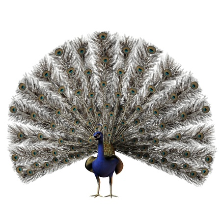 laying egg: Peacock - The beautiful male peacock with a full display of all his tail feathers  Stock Photo
