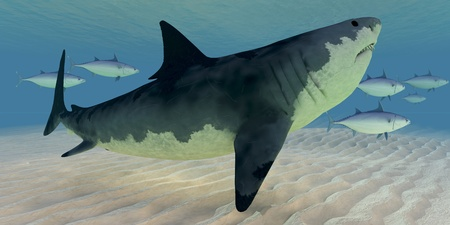 bluefin tuna: Great White Shark - A school of swift swimming Blue-Fin Tuna fish provoke the curiosity of a Great White Shark