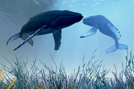 Resting Whales - Two Humpback whales rest and sleep over a reef in shallow ocean waters