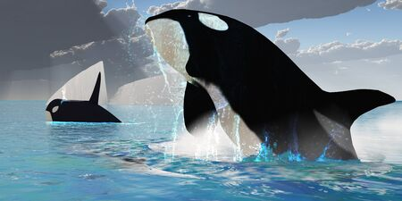 cetacean: Orca Whales - A female Orca whale traveling with a bull whale bursts from the ocean in a great splash of water