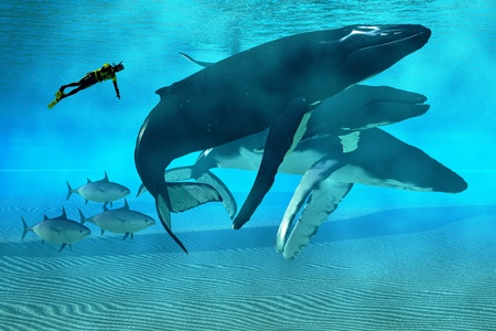 baleen whale: Humpback Dive - A diver swims with a pod of Humpback whales as three tuna cruise by  Stock Photo
