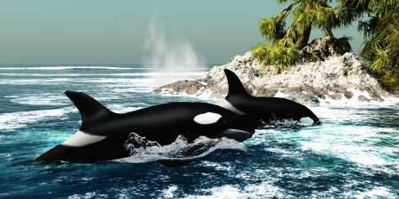 Orca Killer Whales - Two Killer whales swim into an ocean inlet looking for fish or seal prey  Фото со стока