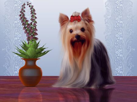 developed: Yorkshire Terrier - This dog member of the Toy breed was developed in Yorkshire, England in the 19th century  Stock Photo