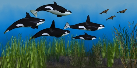Killer Whale Pod - Several seals try to escape from a pod of Killer whales that are hunting them in ocean shallows. Stock Photo - 20366238