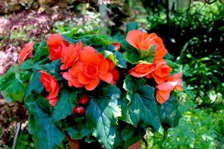 Begonia plant the begonia flower is a subtropical and tropical begonia plant the begonia flower is a subtropical and tropical perennial plant stock photo mightylinksfo