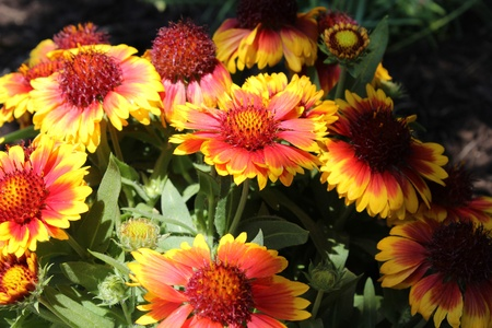 perennial plant: Blanket Flowers - Gaillardia or the Blanket flower is a perennial and annual plant derived from the Sunflower plant