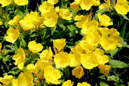 perennial: Buttercup Flowers - Yellow - Ranunculus or Buttercup flower is a perennial plant usually flowering in the spring and sometimes in the summer