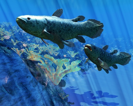 Coelacanth Fish - The Coelacanth fish was believed to be extinct but were discovered in 1938 to still be living  photo