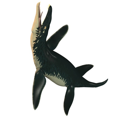Liopleurodon on White - Liopleurodon was a large carnivorous marine reptile in the Jurassic epoch