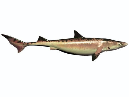 cretaceous: Cretaceous Shark on White - There were numerous species of shark during the Cretaceous Period of Earth Stock Photo