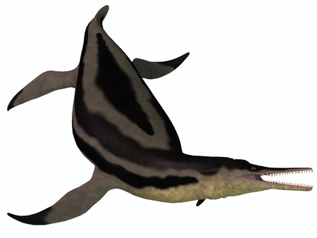 Dolichorhynchops Plesiosaur on White - Dolichorhynchops is an extinct genus of short-neck Plesiosaur from the Cretaceous Period and lived in the oceans of North America  Stock Photo