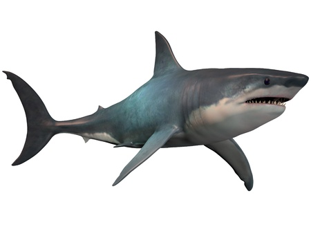 Megalodon on White - The Megalodon is an extinct megatoothed shark that existed in prehistoric times, from the Oligocene to the Pleistocene Epochs  Stock Photo