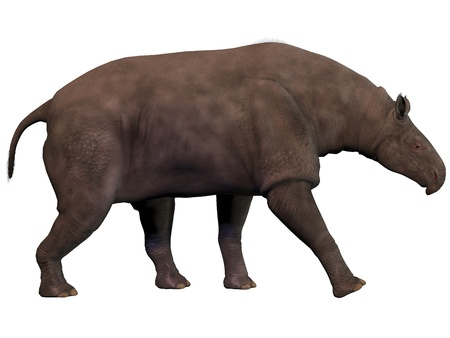 herbivore: Paraceratherium on White - Paraceratherium also known as Indricotherium was a genus of gigantic hornless rhinocerus-like animal which was the largest land mammal ever known  It was a herbivore and lived during the Eocene to Oligocene Periods