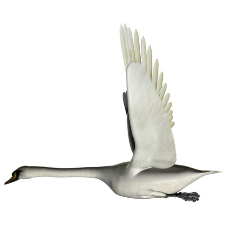bipedal: Swan Wings Up - The Swan is from a genus of waterfowl and is among the largest flying birds  Stock Photo