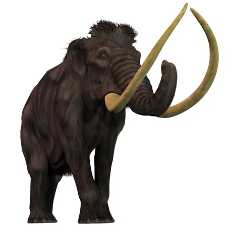 Woolly Mammoth on White - Woolly Mammoths are extinct herbivorous mammals that lived from the Pleistocene to the Holocene Periods