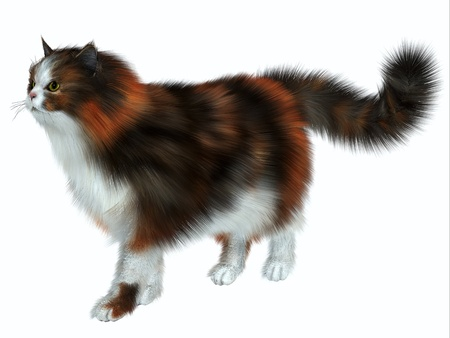 Calico Cat - The Calico domestic cat has a coat color of predominantly white with variation of two other colors  Stock Photo