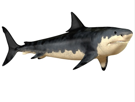 Megalodon Big Tooth - The Megalodon shark was an enormous predator in the Cenozoic Period of prehistoric Earth Stock Photo - 22078945