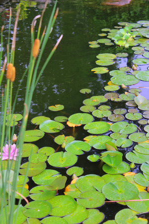 Lillypads and Cattails - A garden pond filled with green Lillypads and cattails and one pink flower  Stock Photo